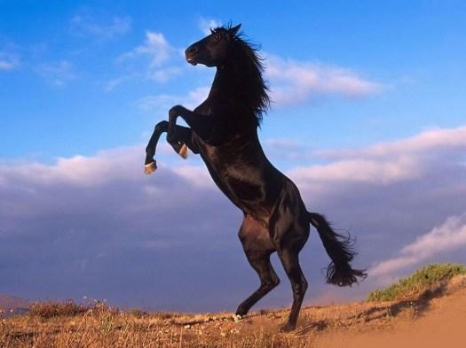 black-stallion-rearing